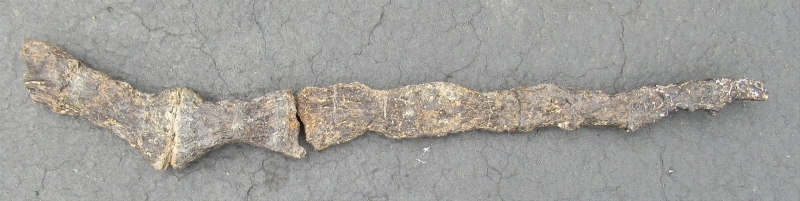 Absolute End of Camarasaurus tail